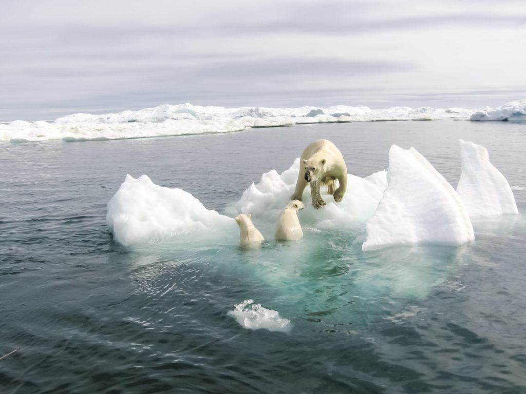 Eisbären auf Eisscholle